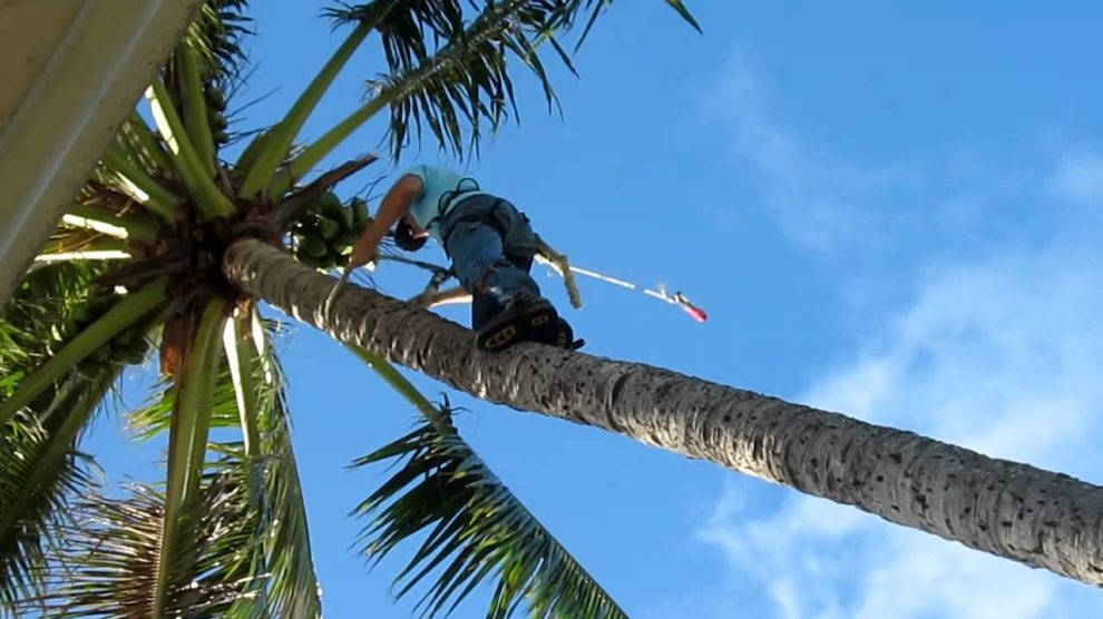 Palm-Tree-Trimming-Henderson's Best Tree Care Services-We Offer Tree Trimming Services, Tree Removal, Tree Pruning, Tree Cutting, Residential and Commercial Tree Trimming Services, Storm Damage, Emergency Tree Removal, Land Clearing, Tree Companies, Tree Care Service, Stump Grinding, and we're the Best Tree Trimming Company Near You Guaranteed!